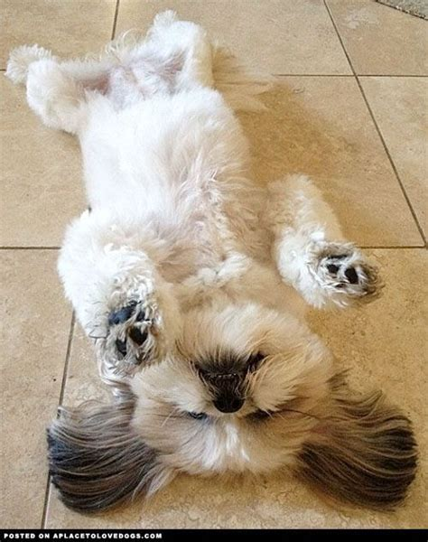 how to a shih tzu to lay best 25 shih tzu ideas on shih tzu puppy