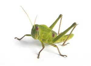 Garden Insect Pests - grasshoppers how to control amp get rid of grasshoppers
