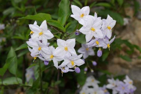 pianta invernale con fiori bianchi piante invernali da balcone le specie fioriscono con