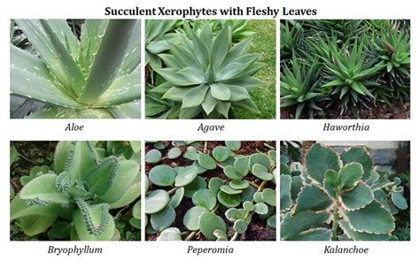 succulents plants adaptations for ecological adaptations of desert plants ppt
