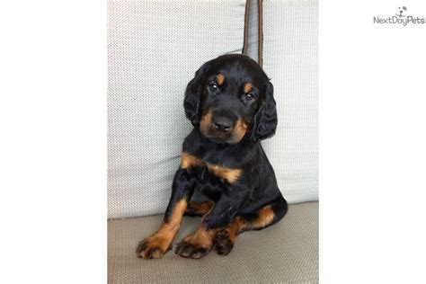setter puppies for sale in michigan gordon setter puppy for sale near grand rapids michigan 870db5a6 dfe1