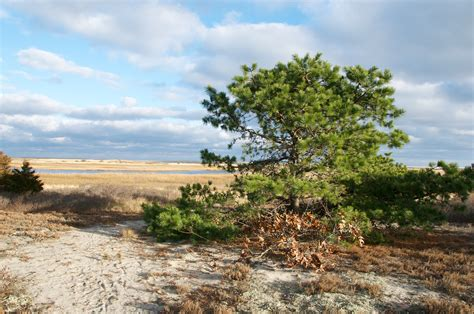 you cut christmas trees in the cape cod area winter on cape cod boston harbor beaconboston harbor beacon