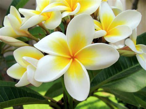 Minyak Atsiri Kamboja tanaman hidup untuk sehat laman 2