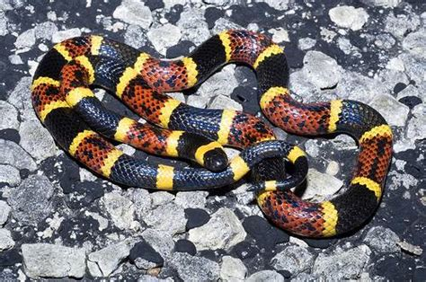 coral snake pattern we have been informed that there are coral snacks in our