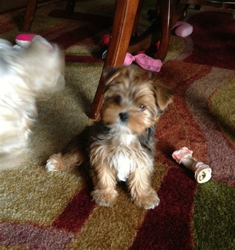 biewer yorkie for sale in ga southern yorkies traditional chocolate biewer terrier puppies for