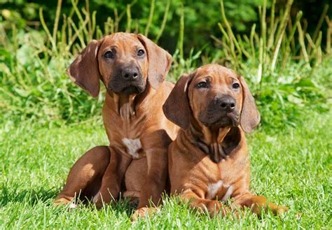 rhodesian puppy rhodesian ridgeback puppy www pixshark images galleries with a bite