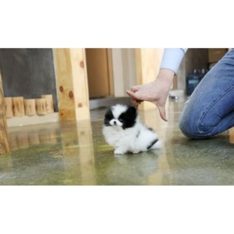 pomeranian puppies for sale in scotia all puppies and dogs for sale and adoption in nevada freedoglistings