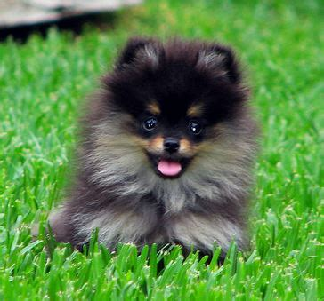 black and brown teacup pomeranian teacup teddy pomeranian in black and brown colors jpg 1 comment