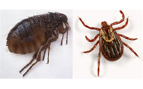 difference between ticks and bed bugs what s the difference between fleas and ticks