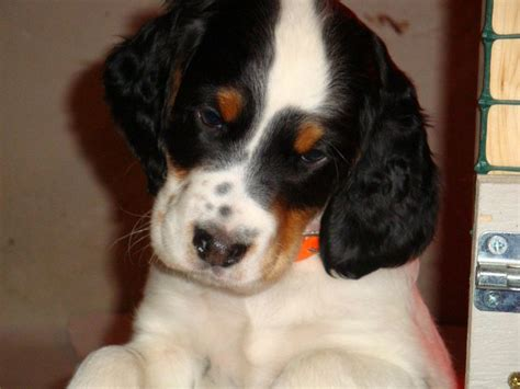 english setter started dogs for sale english setter puppy tricolor english setter gordon