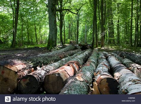 buy birch tree logs birch tree logs stacked lying one by one in old deciduous