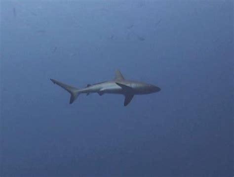 red viagra shark mooi he de grey reef shark foto borneo 2009