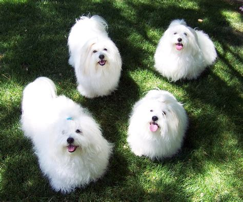 fluffy breeds absolutely gorgeous fluffy breeds breeds puppies