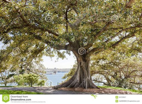 ficus tree botanic garden sydney royalty free stock
