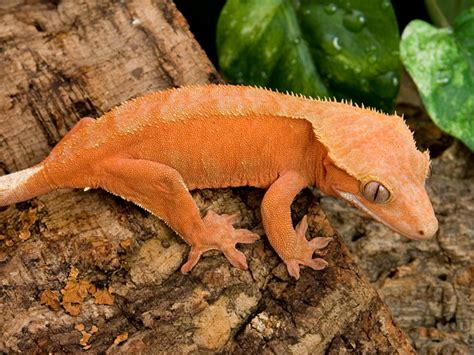 Do Crested Geckos Need Heat Ls by Crested Gecko Rhacodactylus Ciliatus Facts And Pictures