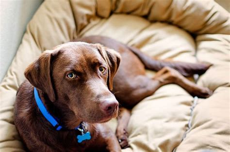 how bad is chocolate for dogs 17 best ideas about chocolate labradors on
