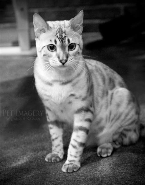 white bengal cat kittens the ultimate cat care guide white bengal cat bengal and cat