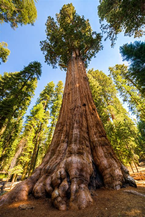 general sherman tree sequoia national park in california general sherman tree hdr sequoia national park the