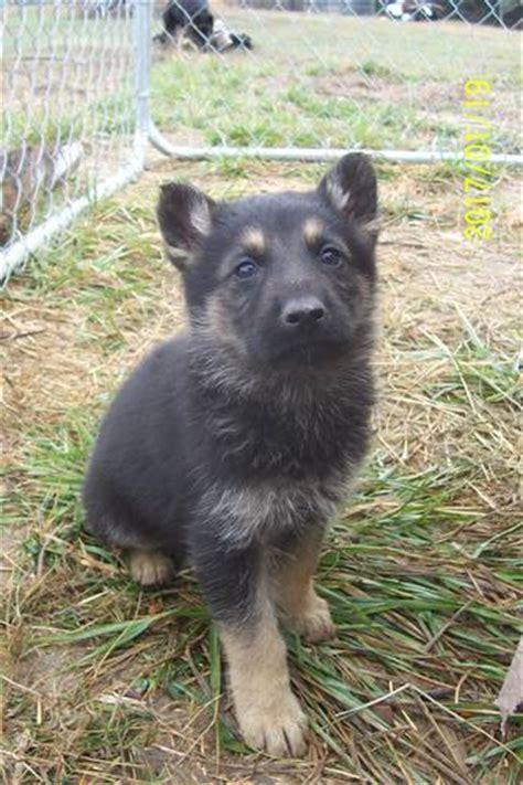 lsn puppies local shop blood german shepherd puppies