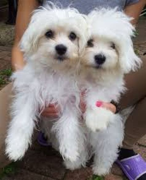 maltese puppies colorado yorkie maltese morkies puppies for sale dogs puppies colorado