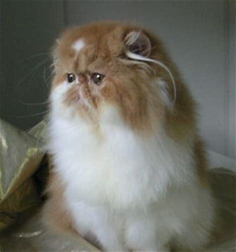 Mata Di Lbc pecinta hewan berbulu kucing