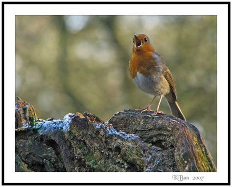 top 28 why do robins sing in the morning a robin