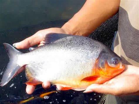 Peluang Usaha Budidaya Ikan Kembung peluang usaha budidaya ikan bawal dan analisa usahanya agrowindo