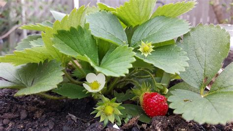 coltivare fragole in vaso coltivare le fragole in vaso consigli pratici per