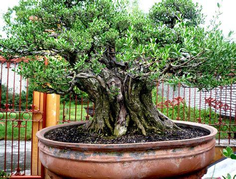 Bakalan Bonsai Santigi bonsai santigi bonsai santigi bakalan bonsai