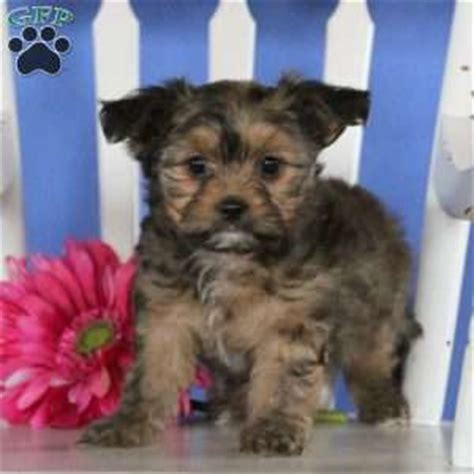 shorkie poo puppies for sale shorkie poo puppies for sale greenfield puppies