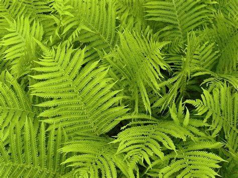 Läuse Auf Pflanzen 3917 by Fern Leaves Plants 183 Free Photo On Pixabay