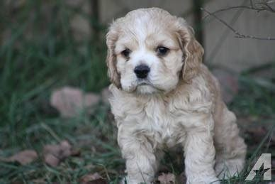 cocker spaniel puppies michigan purebred american cocker spaniel puppies 2 left and 2 week left for sale in kimball