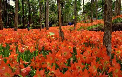 gambar bunga amarilis hamparan bunga amarilis pernik dunia