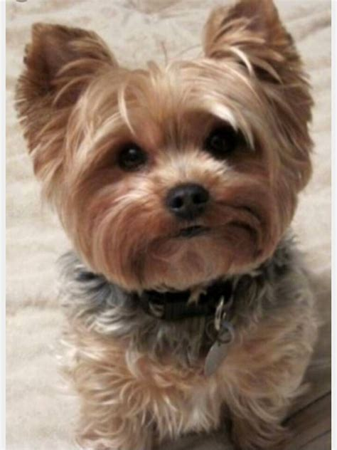 images of yorkshire layered hairstyles pin de sue en havanese corgi yorkshire terrier