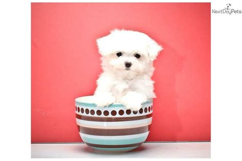 teacup maltese puppies for sale in michigan 146 best images about teacup maltese for sale on adoption maltese for