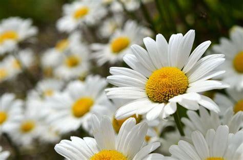 fiori margherite margherite fiori di co come curare le margherite