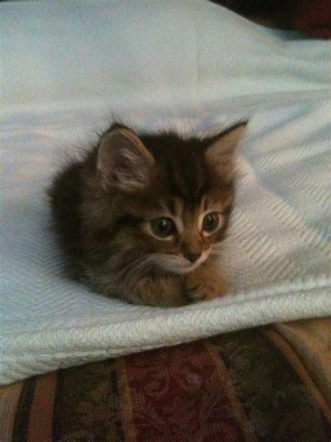kitten in bed kitten on the bed luvbat