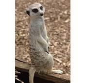 Meerkat HD Wallpapers  High Definition