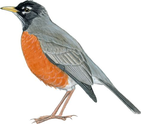 what color is a robin robin american m2 muir laws