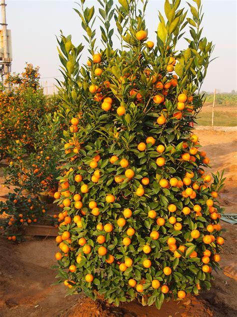 kumquat trees new year tet in tussah