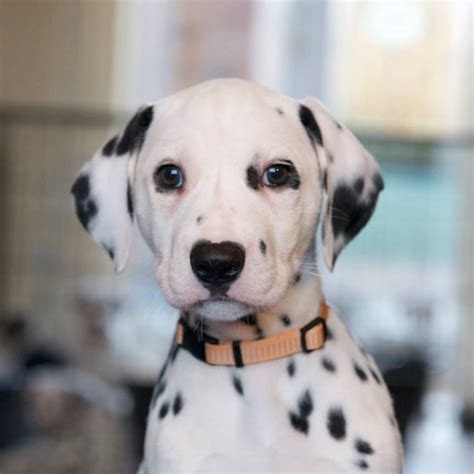 puppy this dalmatian puppies aberlour banffshire pets4homes
