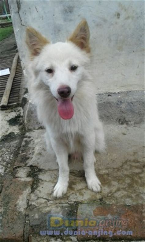Anjing Kintamani Bali dunia anjing jual anjing kintamani anjing kintamani bali