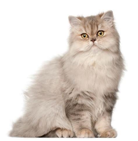 gatto persiani persiano caratteristiche e foto