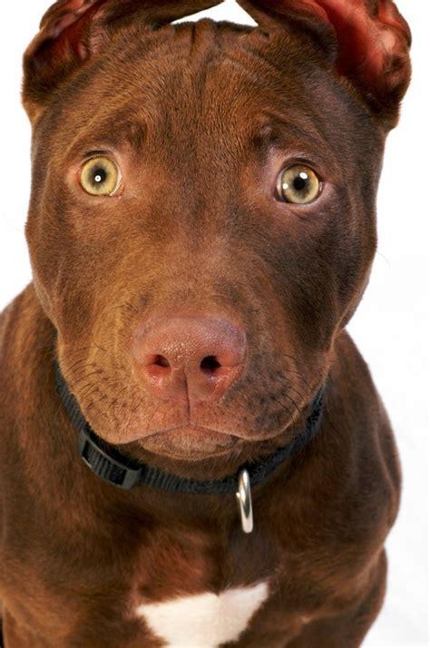 Dark Brown Pitbull Terrier Www Pixshark Com Images Brown Pit
