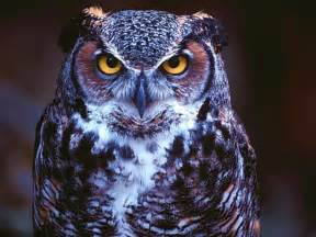 pictures of owls for beautiful wallpapers owl wallpaper