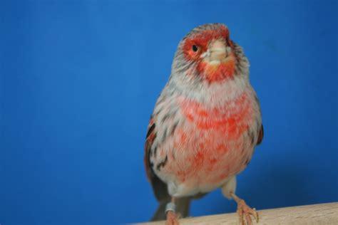 razas de canarios en venta wwwsemilleriaebjcom nuestros reproductores aviariohnoshurtado