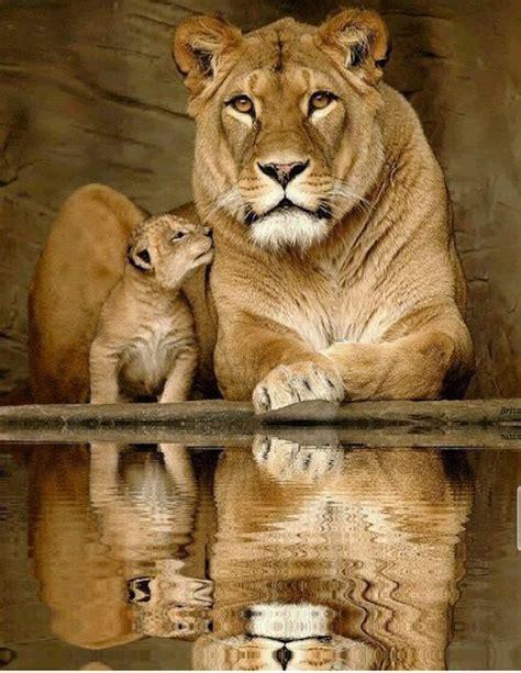 imagenes animal espiritual m 225 s de 25 ideas incre 237 bles sobre grandes felinos en