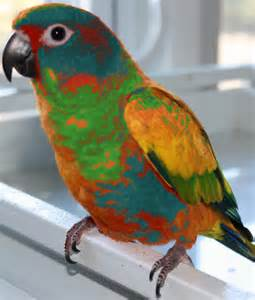 Displaying 16 gt images for red factor sun conures
