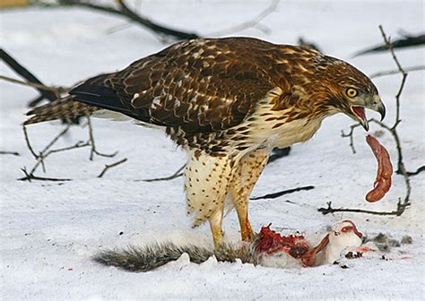 immature red tailed hawk eating squirrel she devours