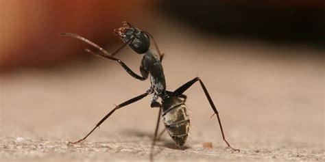 come eliminare le formiche dalla cucina come eliminare le formiche da casa arrangiamoci